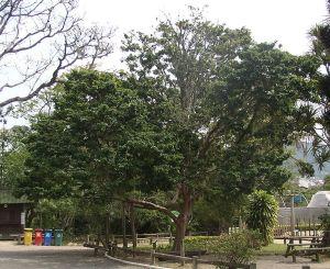 733px-Caesalpinia-echinata